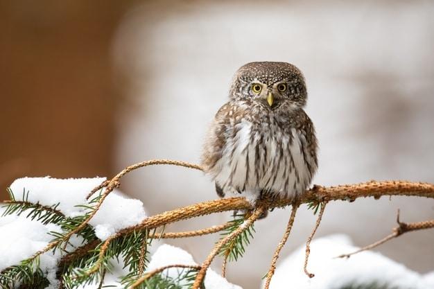 Northern pygmy owls