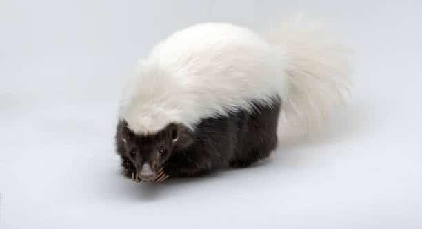 Hog-nosed skunks