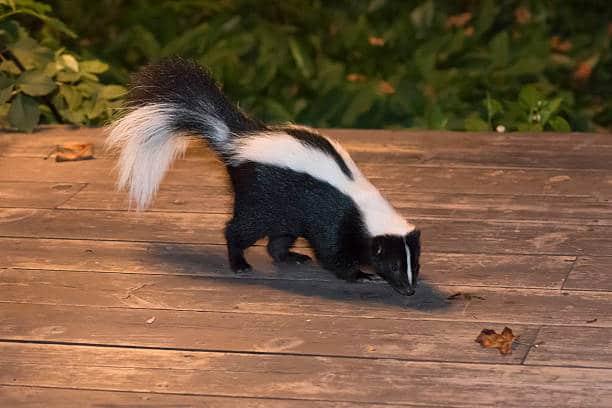 Hooded skunks