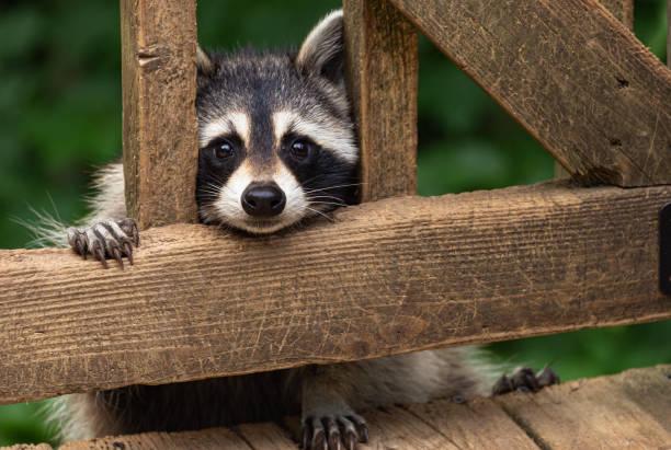 raccoon near deck